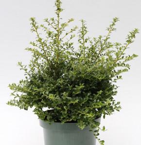 Japanische Stechpalme Ilex Twiggy 40-50cm - Ilex crenata Twiggy
