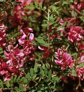 Falscher Indigostrauch 30-40cm - Indigofera heterantha