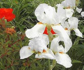 Schwertlilie Bianca - Iris barbata