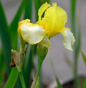 Mittelhohe Schwertlilie Blessed Again - Iris barbata