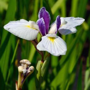 Japanische Sumpf Schwertlilie Fortune - Iris ensata