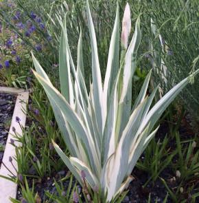 Schwertlilie Argentea Variegata - Iris pallida