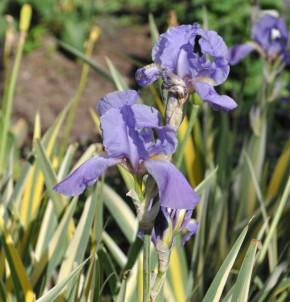 Bleiche Schwertlilie Aurea Variegata - Iris pallida