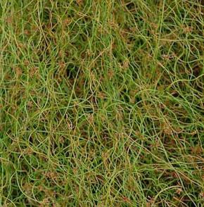 Flatterbinse Spiralis - Juncus effusus