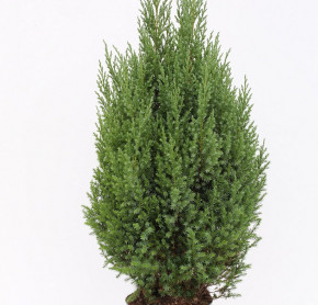 Blauer Kegelmooswacholder 20-30cm - Juniperus chinensis