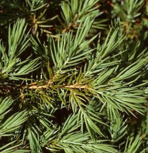 Kriechwacholder Slager 40-50cm - Juniperus conferta Slager