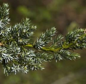 Teppichwacholder Holger 20-30cm - Juniperus squamata