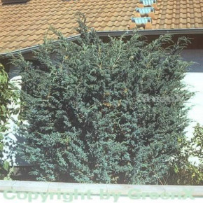 Blauzeder Wacholder 20-25cm - Juniperus squamata
