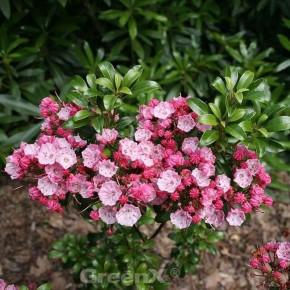 Großer Berglorbeer Little Linda 25-30cm - Kalmia latifolia