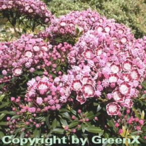 Berglorbeer Minuet 15-20cm - Kalmia latifolia
