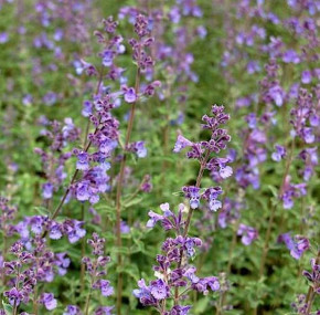 Katzenminze Walker Low - Nepeta faassenii