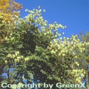 Rispiger Blasenbaum 60-80cm - Koelreuteria paniculata