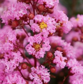 Chinesische Kräuselmyrte Petite Pink® 30-40cm - Lagerstroemia indica