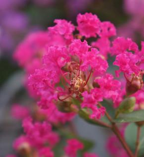 Hochstamm Chinesische Kräuselmyrte Red Crepemyrthe 60-80cm - Lagerstroemia indica