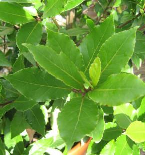 Lorbeerbaum 30-40cm - Laurus nobilis