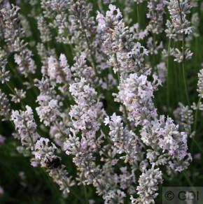 Echter Lavendel Arctic Snow - Lavandula angustifolia