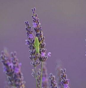 Lavendel Essence Purple - Lavandula intermedia