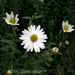 Oktober Margerite - Leucanthemella serotina