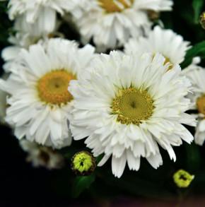 Gartenmargerite Freak - Leucanthemum superbum