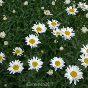 Gartenmargerite Little Miss Muffet - Leucanthemum superbum