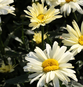 Gartenmargerite Sonnenschein - Leucanthemum superbum