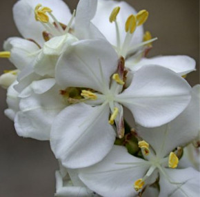 Neuseeland Iris - Libertia grandiflora