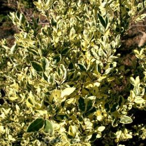 Hochstamm Cremefarbiger Liguster 80-100cm - Ligustrum ovalifolium