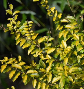 Liguster Lemon and Lime 40-60cm - Ligustrum ovalifolium