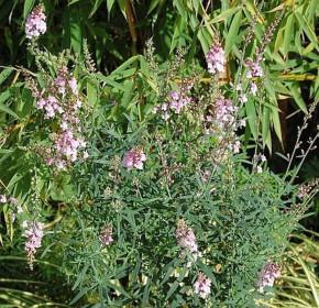 Italienisches Leinkraut Canon J. Want - Linaria purpurea
