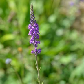 Italienisches Leinkraut - Linaria purpurea