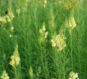 Echtes Leinkraut - Linaria vulgaris