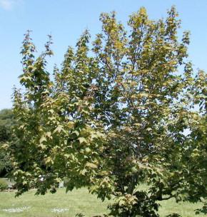 Taiwanesischer Amberbaum 60-80cm - Liquidambar formosana