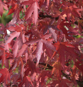 Amerikanischer Amberbaum Festival 100-125cm - Liquidambar styraciflua