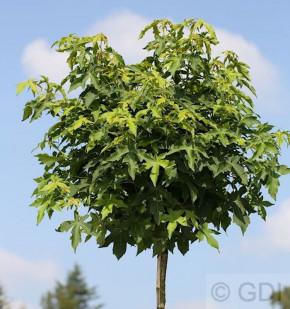 Hochstamm Kugel Amberbaum Gumball 100-125cm - Liquidambar styraciflua