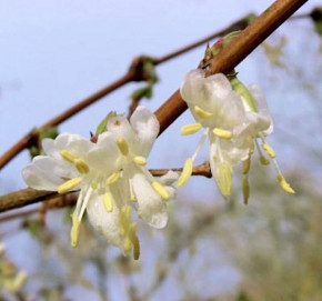 Wohlriechende Heckenkirsche Sweet Caroline 60-80cm - Lonicera fragrantissima