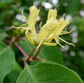 Immergrüne Geißschlinge 100-125cm - Lonicera henryi