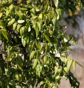 Immergrüne Geißschlinge Copper Beauty 80-100cm - Lonicera henryi