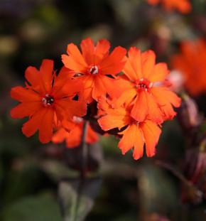 Orangerote Lichtnelke Vesuvius - Lychnis arkwrightii
