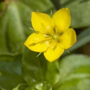 Hain Gilbweiderich - Lysimachia nemorum