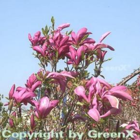 Hochstamm Niedrige Magnolie Susan 60-80cm - Magnolia liliiflora