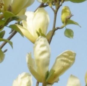 Magnolie Elizabeth 40-60cm - Magnolia brooklynensis