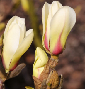 Chinesische Yulan Magnolie Sunrise 80-100cm - Magnolia denudata