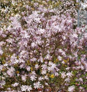 Kleine Sternmagnolie Georg Henry Kern 40-60cm - Magnolia stellata
