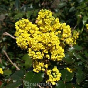 Mahonie Smaragd 20-30cm - Mahonia wagneri
