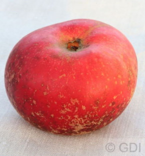 Apfelbaum Baumannsrenette 60-80cm - feinwürzig und knackig