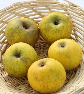 Apfelbaum Bockenhusen 60-80cm - süßsäuerliche und feste Winteräpfel