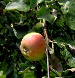 Apfelbaum Charlamowski 60-80cm - feinwürzig und locker