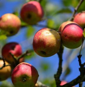 Apfelbaum Danziger Kantapfel 60-80cm - feinwürzig und locker