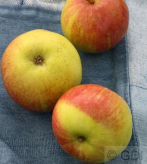 Apfelbaum Geflammter Kardinal 60-80cm - saftig und knackig