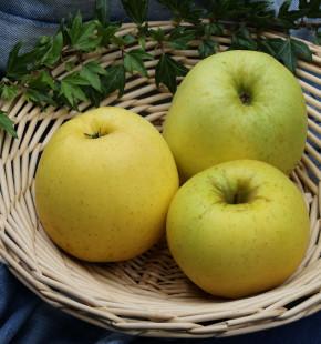Apfelbaum Golden Delicious 60-80cm - Malus